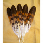 Red Shoulder Hawk Feather (Female)